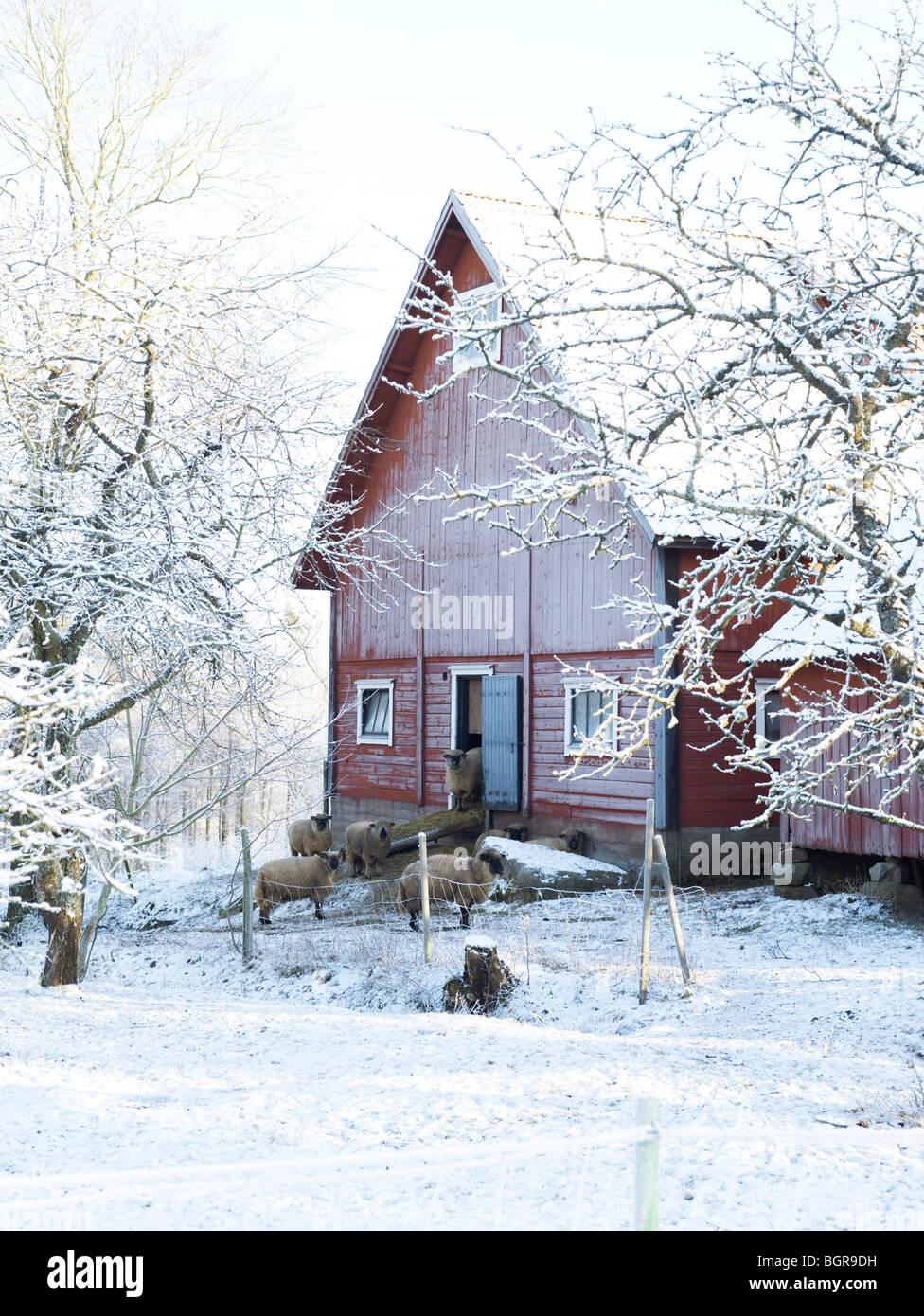 Sheep outside a farm, Sweden. - Stock Image