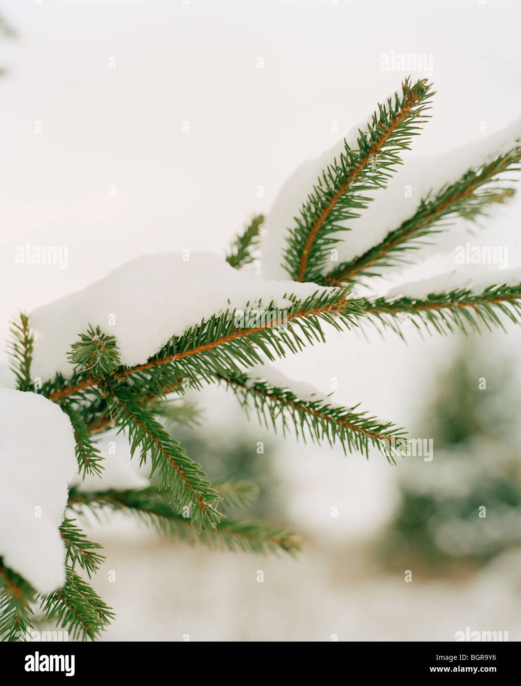 Branch of a spruce with snow - Stock Image
