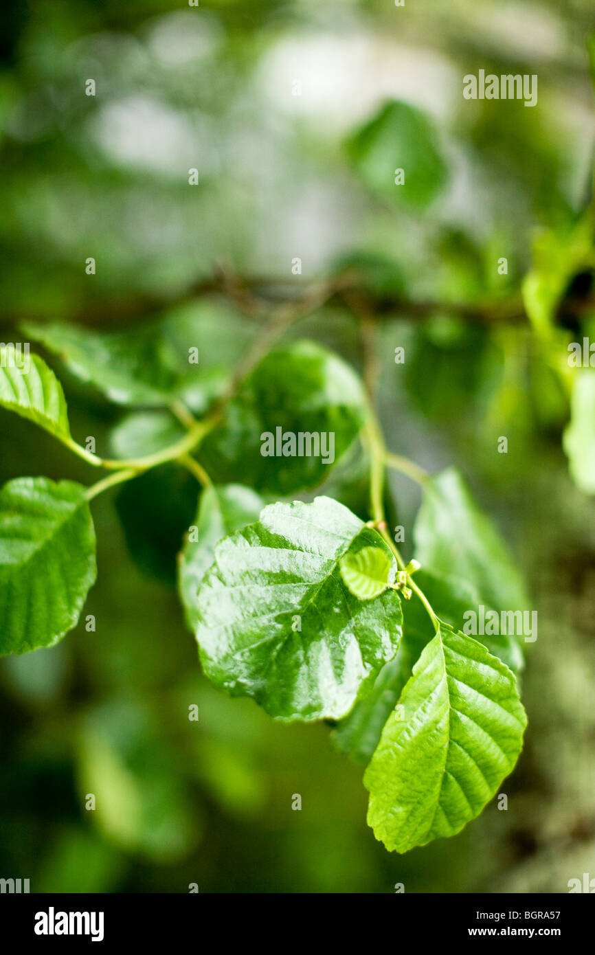 Leaves of alder-tree, Finland. - Stock Image