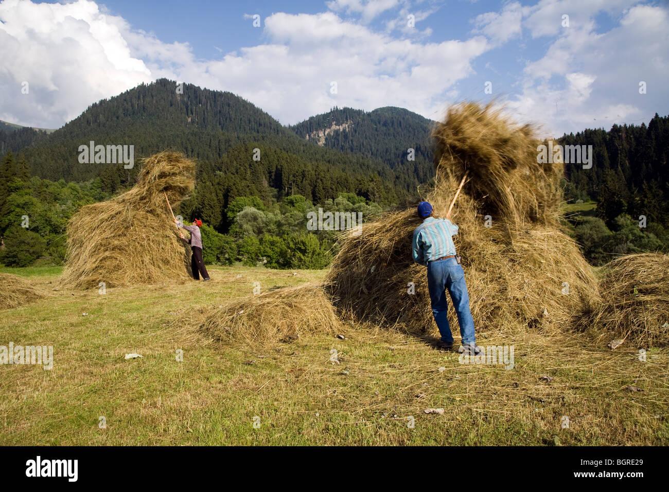 Hay storing for winter, Ardanuc Artvin Turkey - Stock Image