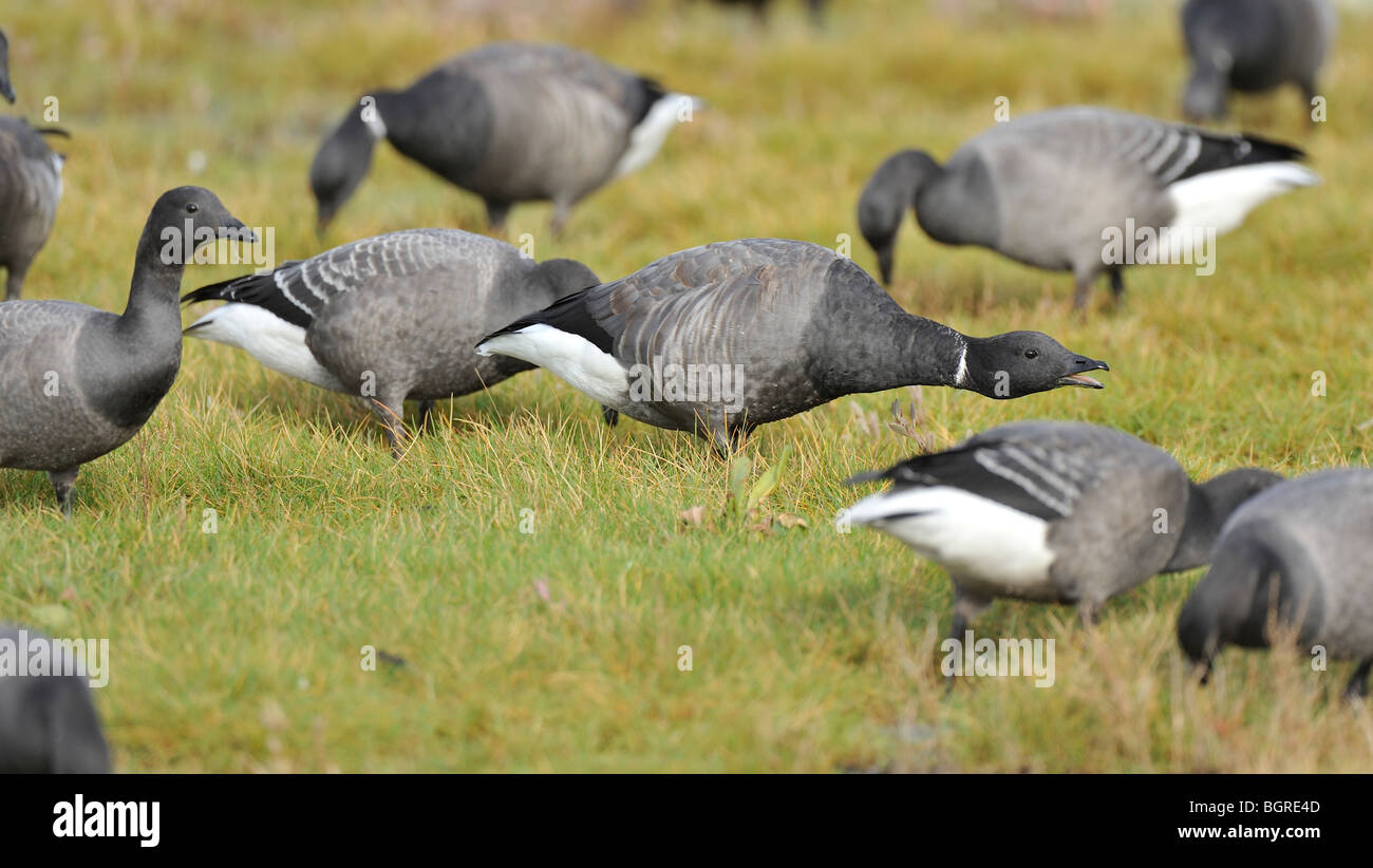 Aggression displayed in a flock of Brent Geese (Branta bernicla) on a salt-marsh. Bernache cravant.  Ringelgans. - Stock Image