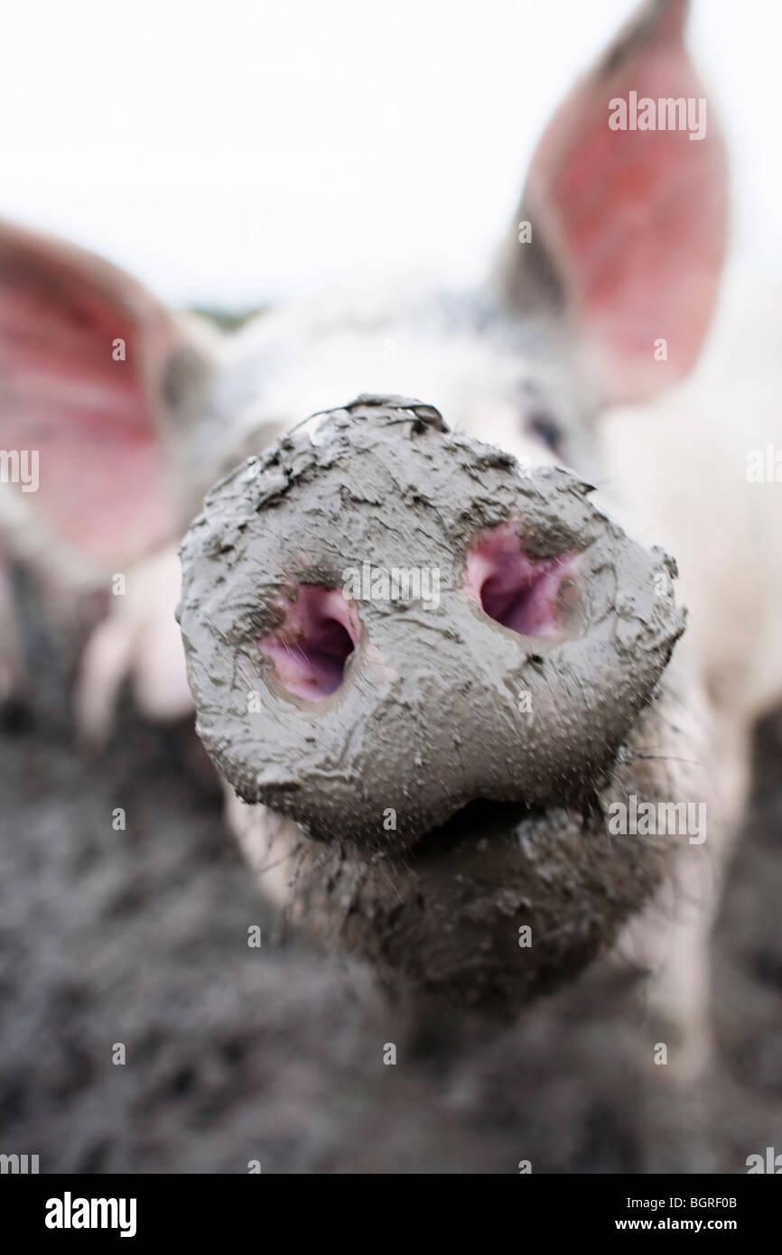A snout, close-up, Sweden. - Stock Image