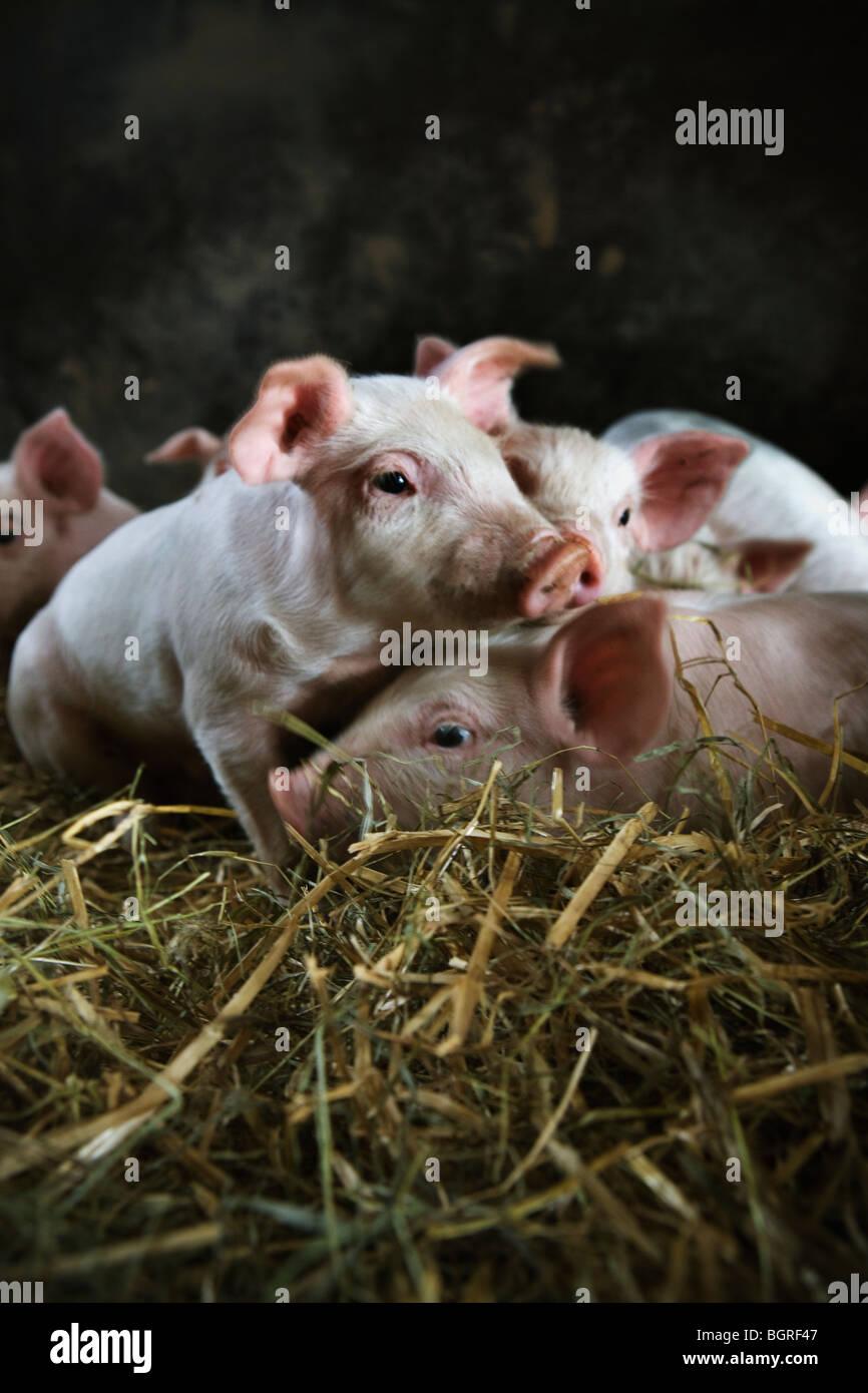 Ecological piglets, Skane, Sweden. - Stock Image