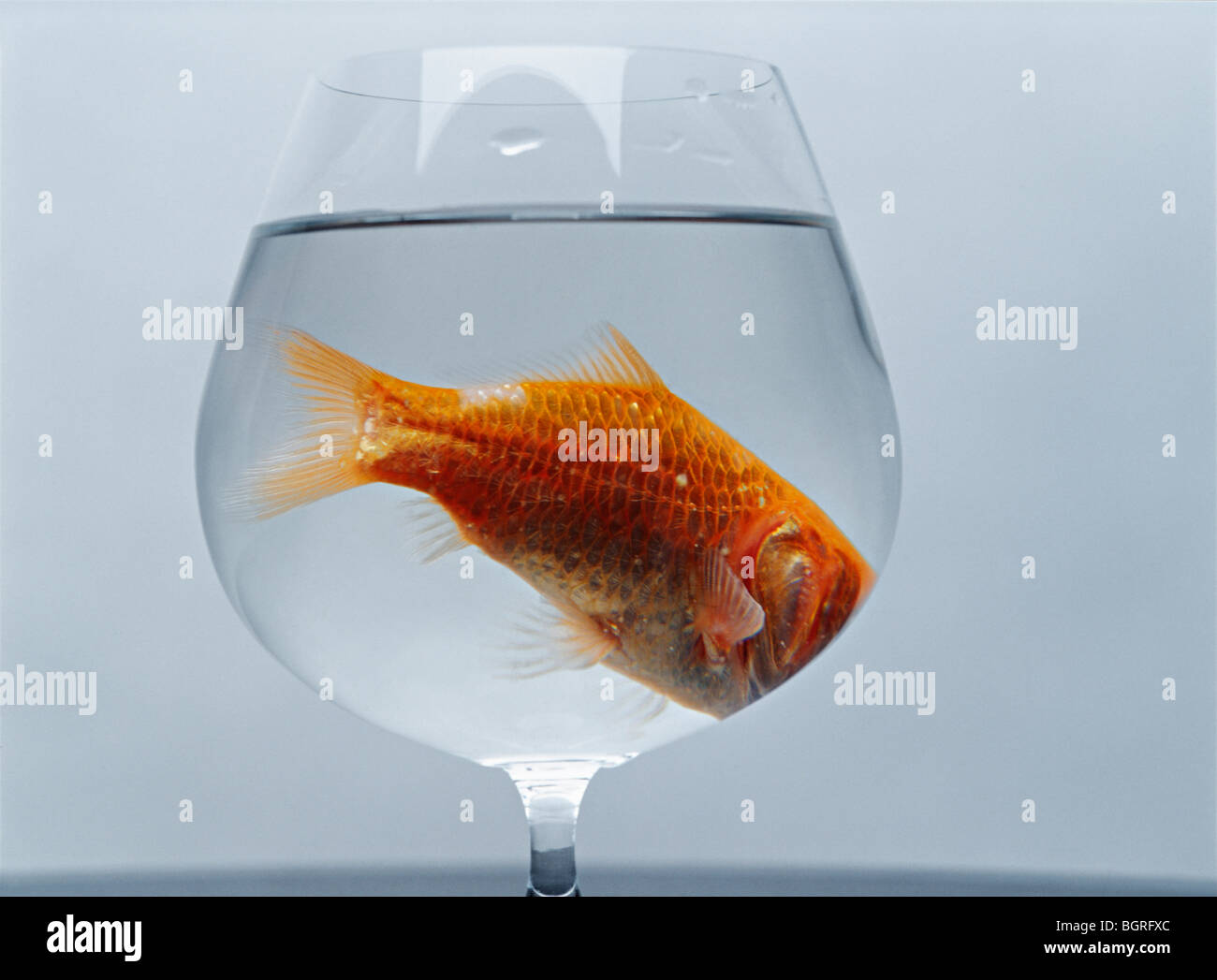 A goldfish in a wineglass. - Stock Image