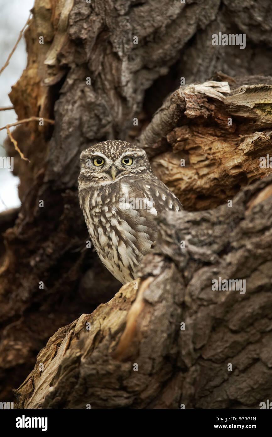 Little Owl, Athene noctua uk - Stock Image