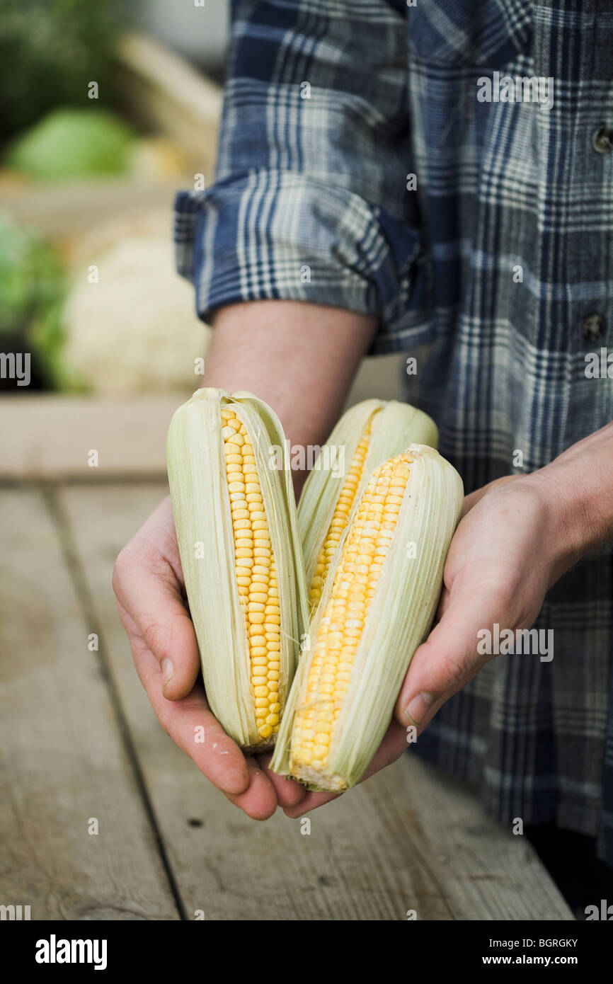 Man holding corn of cobs in his hands. - Stock Image