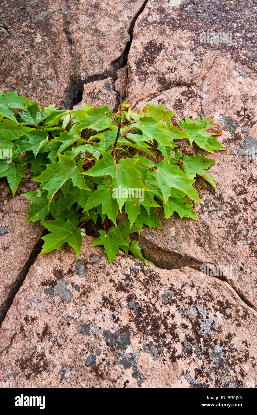 Red maple seedling in crack of glaciated Precambrian granite with lichens, Killarney, Ontario, Canada - Stock Image