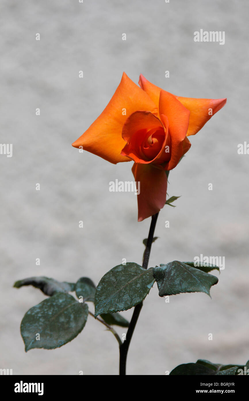 A beautiful ornage rosebud on a gray background - Stock Image