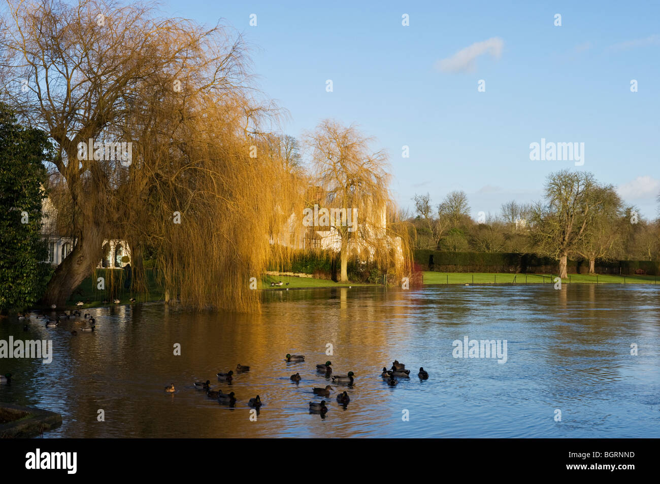 Weeping Willow trees by the River Thames in Winter light at Medmenham Buckinghamshire UK Stock Photo
