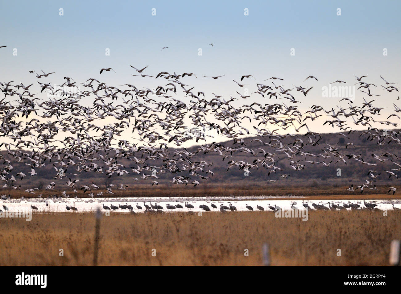 Snow Geese and Sandhill Cranes at Bosque - Stock Image