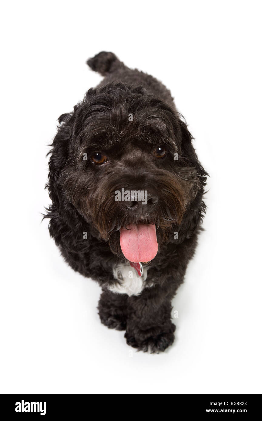 Black Bichon Cocker Spaniel Stock Photos & Black Bichon Cocker