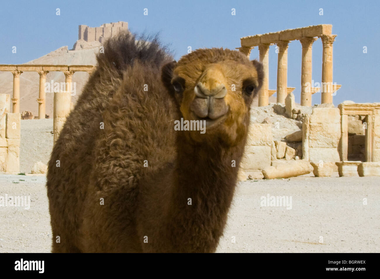 Baby Camel in front of the Tetrapylon at the Roman Ruins of Palmyra in Syria - Stock Image