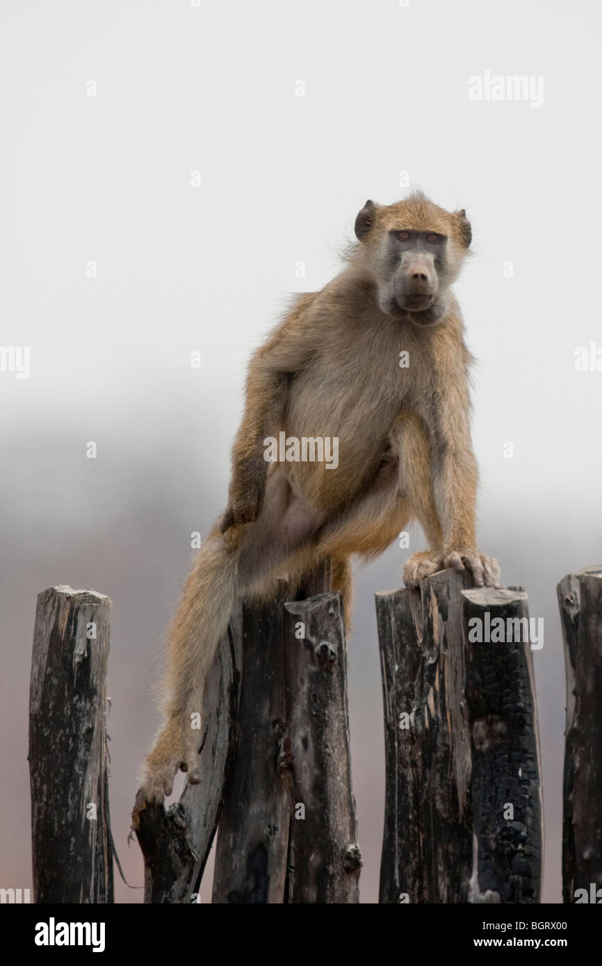 Portrait of a wild baboon in southern Africa. The photo was taken in Zimbabwe's Hwange national park. Stock Photo