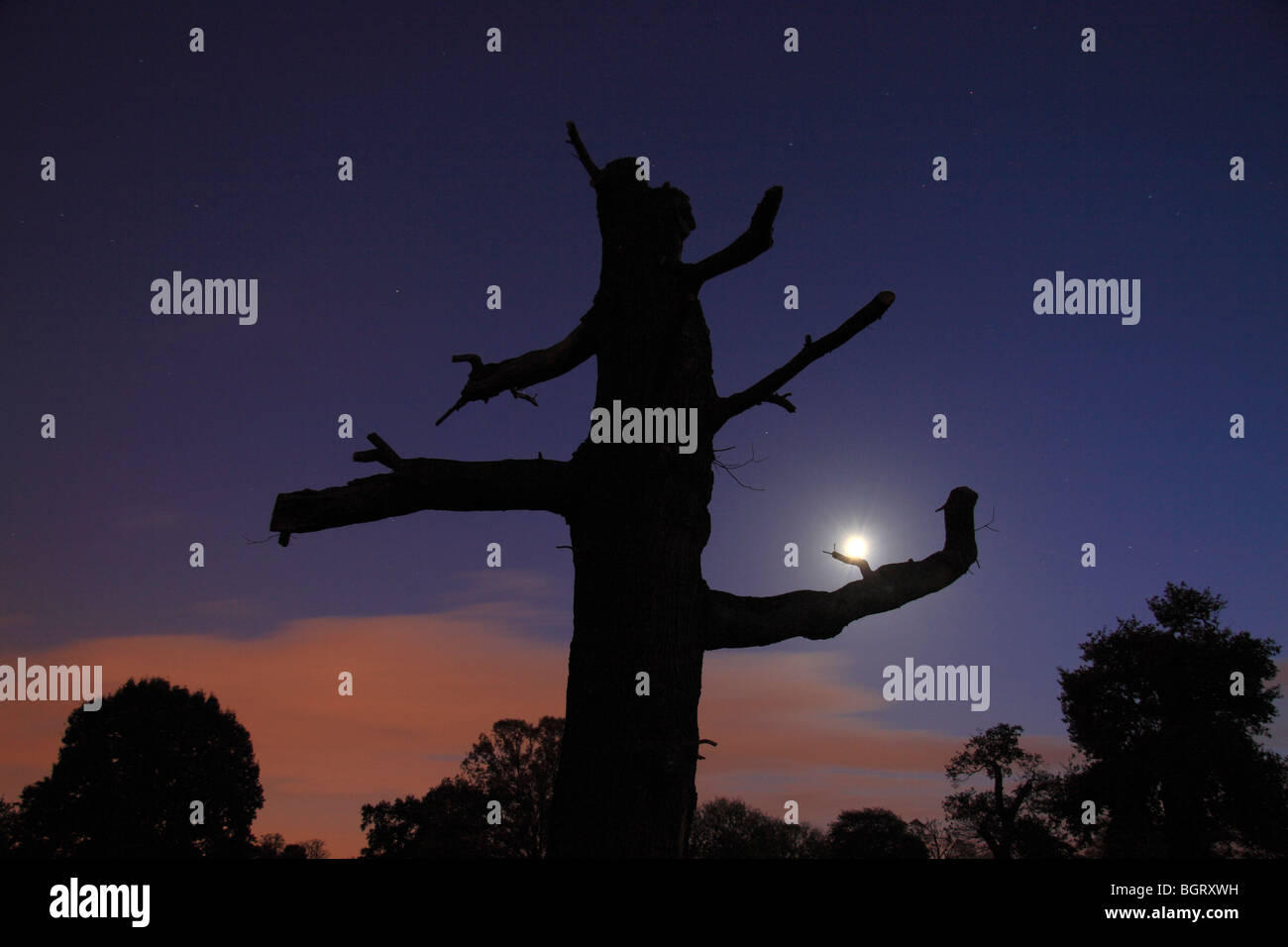 Profile of a dead tree with a stunning sky and moon shot in Bushy Park, Richmond, UK at sunset. - Stock Image