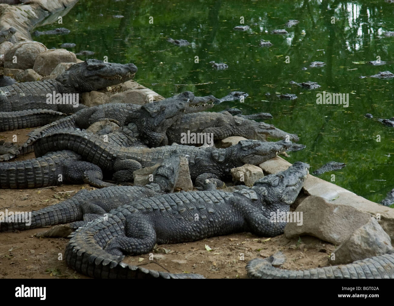 Young watchful crocodiles relaxing in sun outside their water pool after a feed at reptile breeding reserve in Tamil Stock Photo