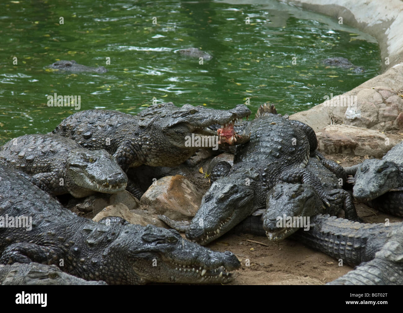 At feeding time large herd of young crocodiles come out of their water pool to catch amazing throw of meat from Stock Photo