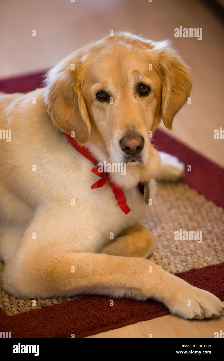 Golden Retriever portrait at 8 years old - Stock Image