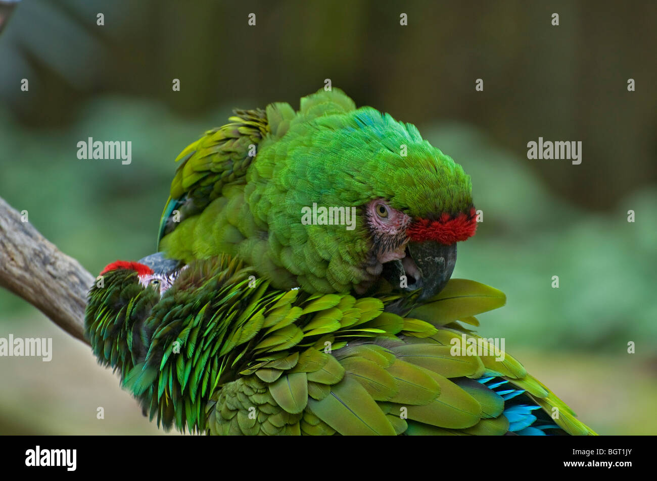 two Military macaws groom each other at Silver Springs Florida Ara Militaris Stock Photo