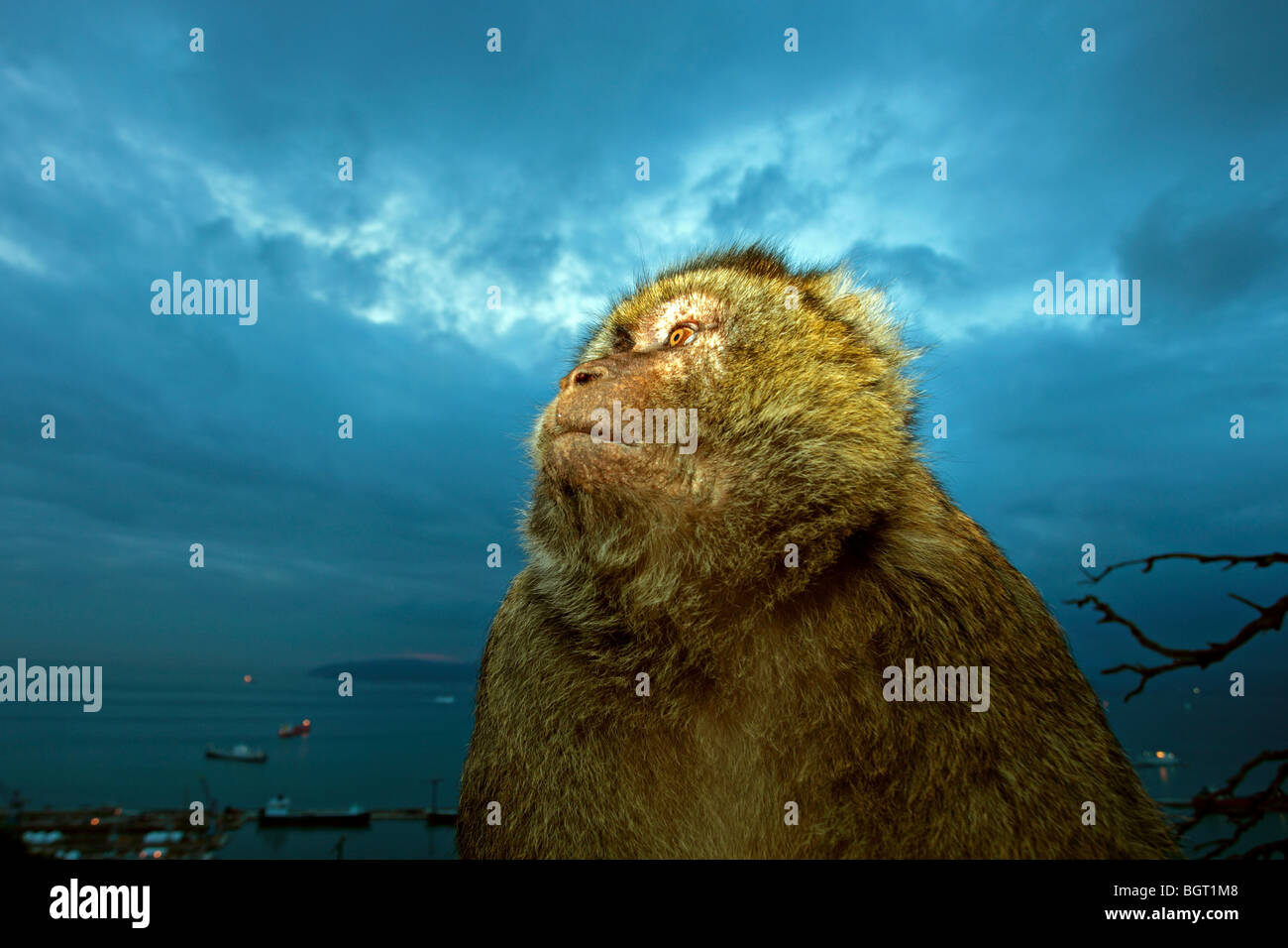 Barbary Ape (Macaca sylvanus), Rock of Gibraltar, UK - Stock Image