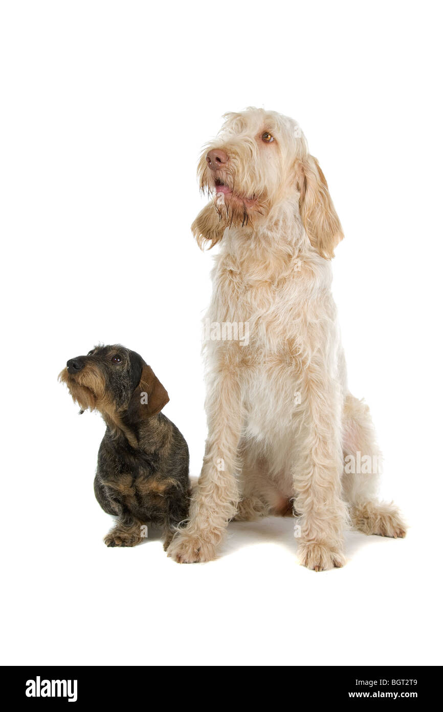 A wire-haired Dachshund and a Spinone Italino dog lying together ...