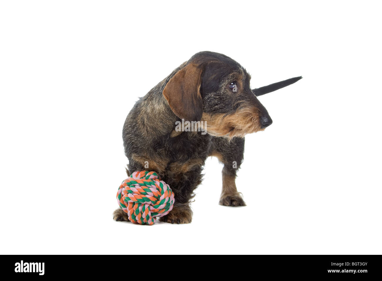 Closeup of cute wire-haired dachshund dog isolated on white Stock ...