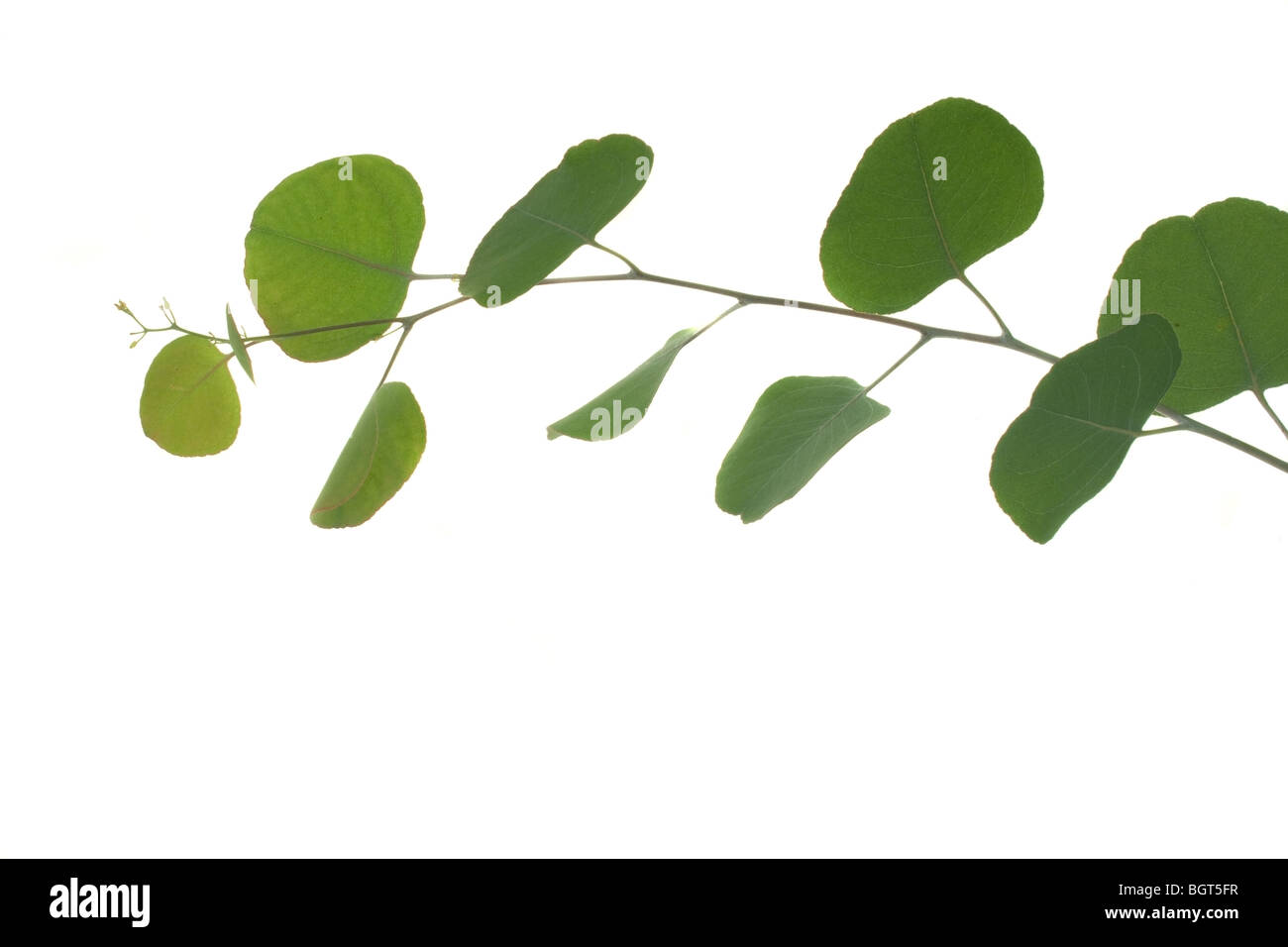 Young green eucalyptus leaves on a branch - Stock Image