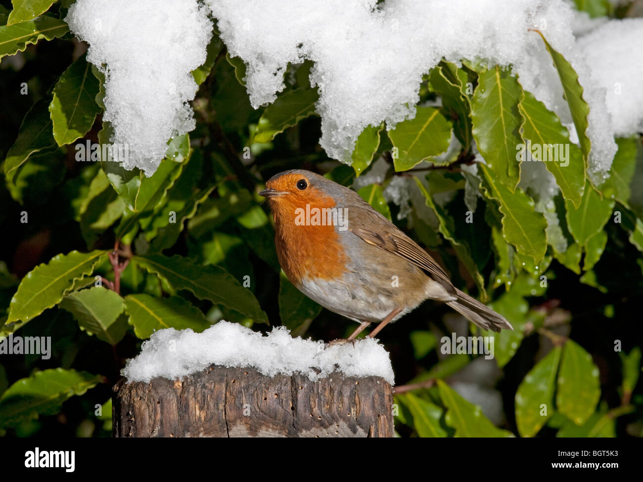 European robin Erithacus rubecula perched on spade handle in snow Cotswolds UK - Stock Image