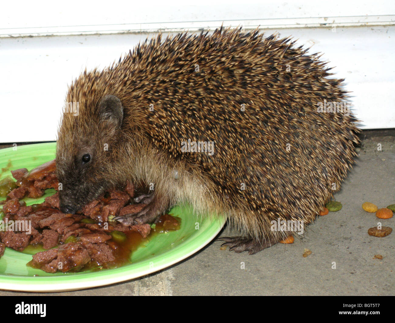 European Hedgehog (erinaceus roumanicus) eating cat food - Stock Image