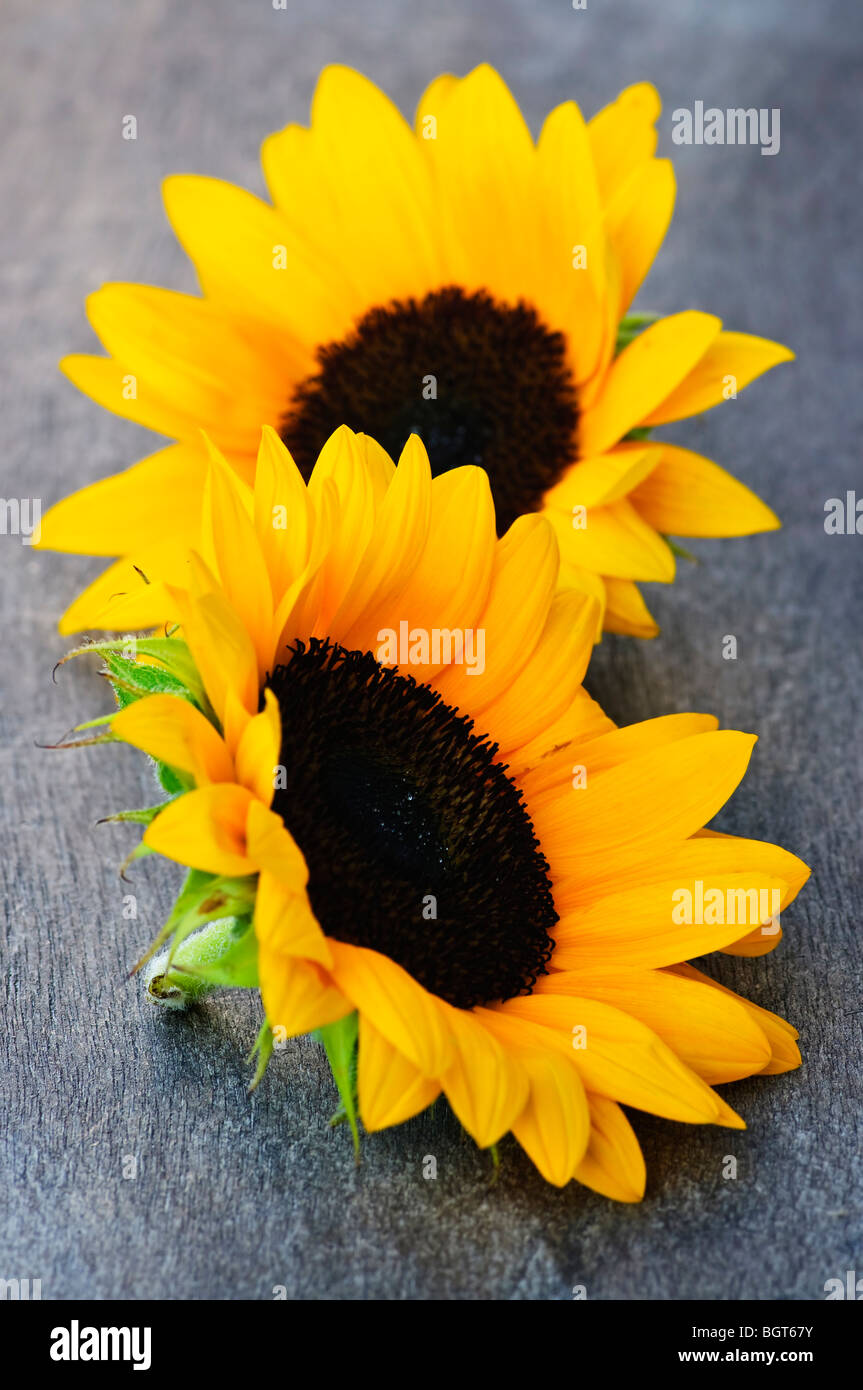 Closeup of two yellow and black sunflower heads - Stock Image