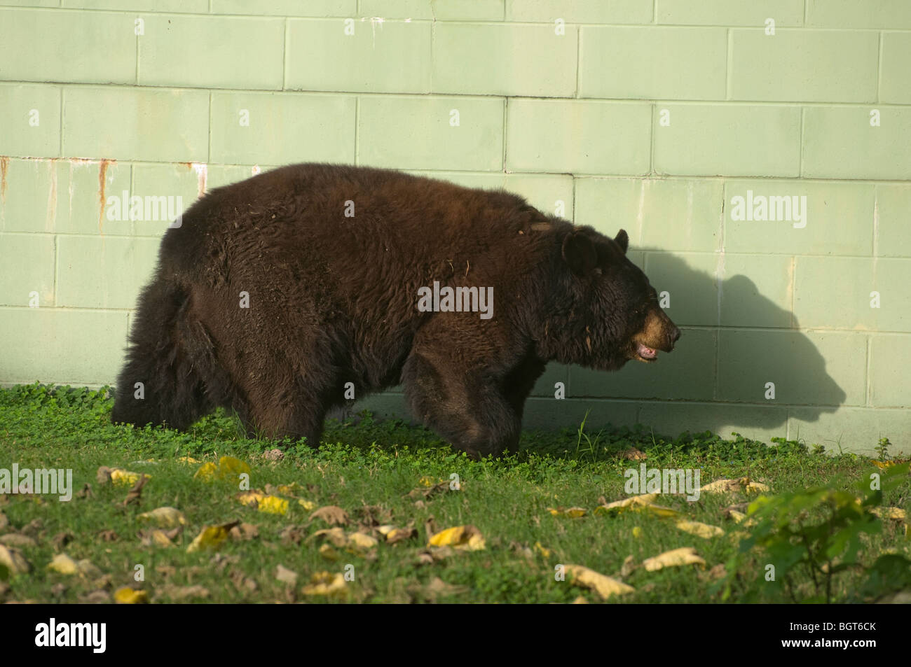 North American Black Bear Ursus Americanus in captivity Silver Springs Florida tourist tourism attraction Stock Photo