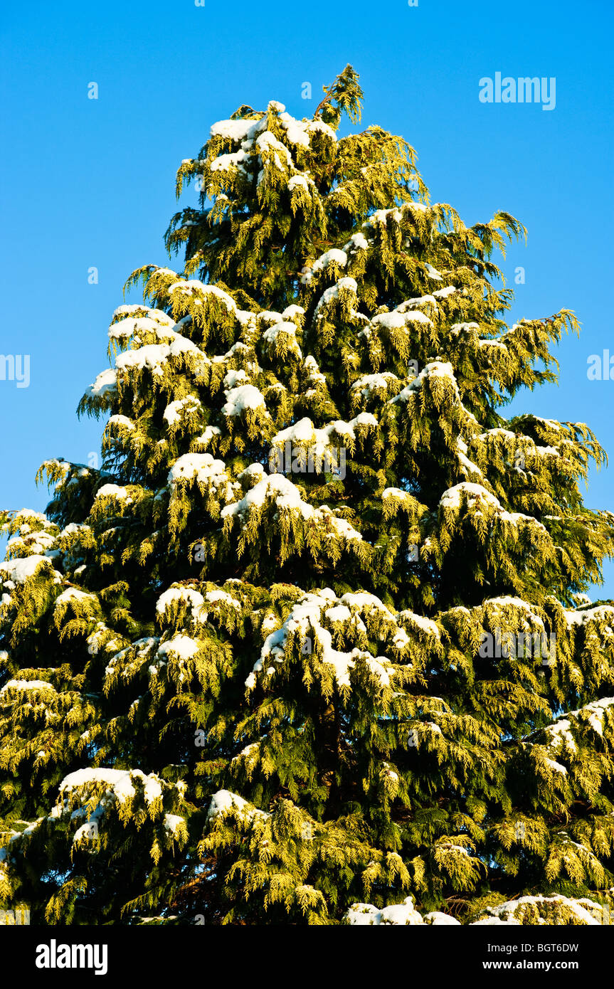 Conifer tree dusted with snow in Januarygreen,evergreen - Stock Image
