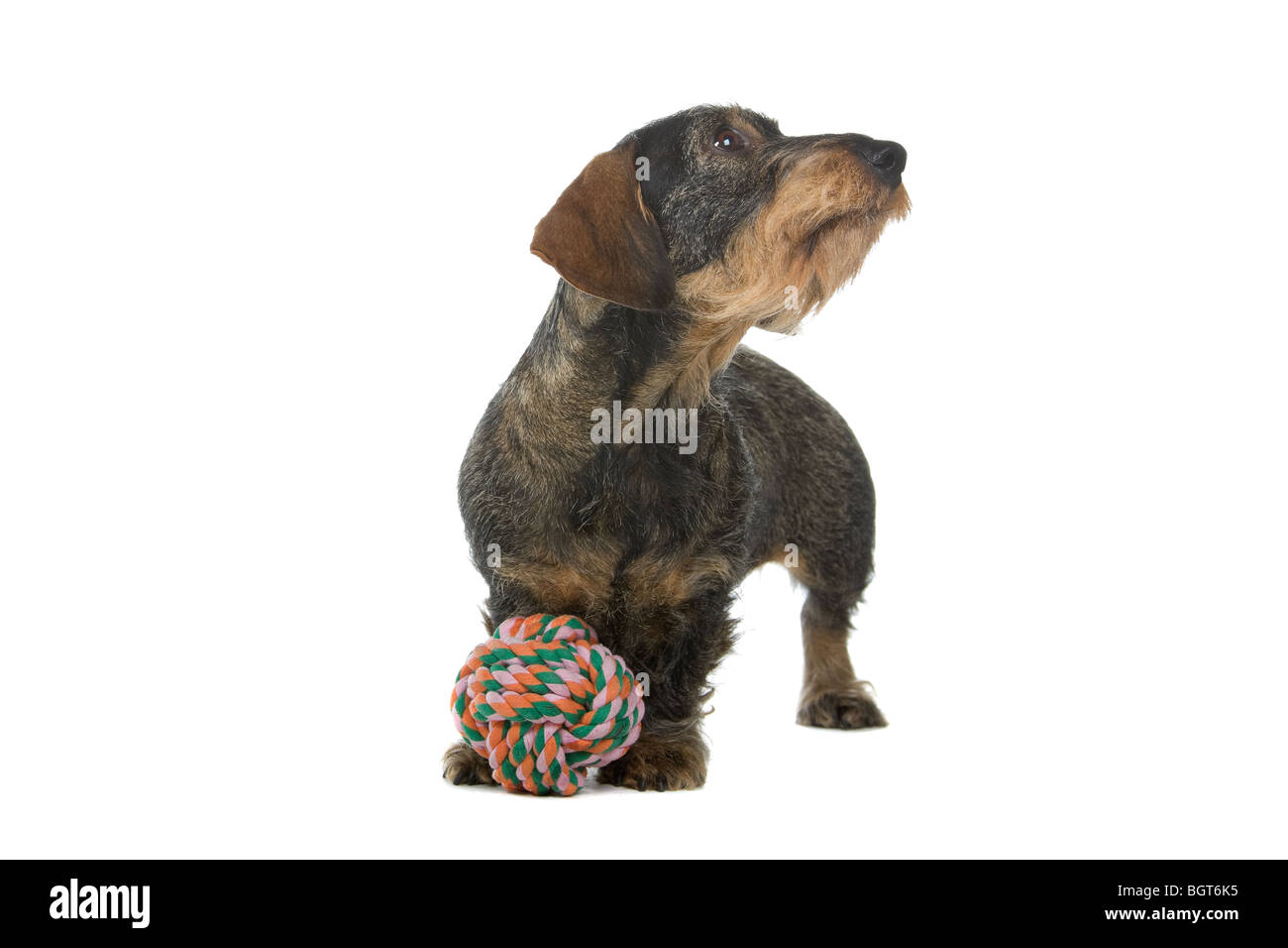 Wire Haired Dachshund Canis Lupus Familiaris Stock Photos & Wire ...