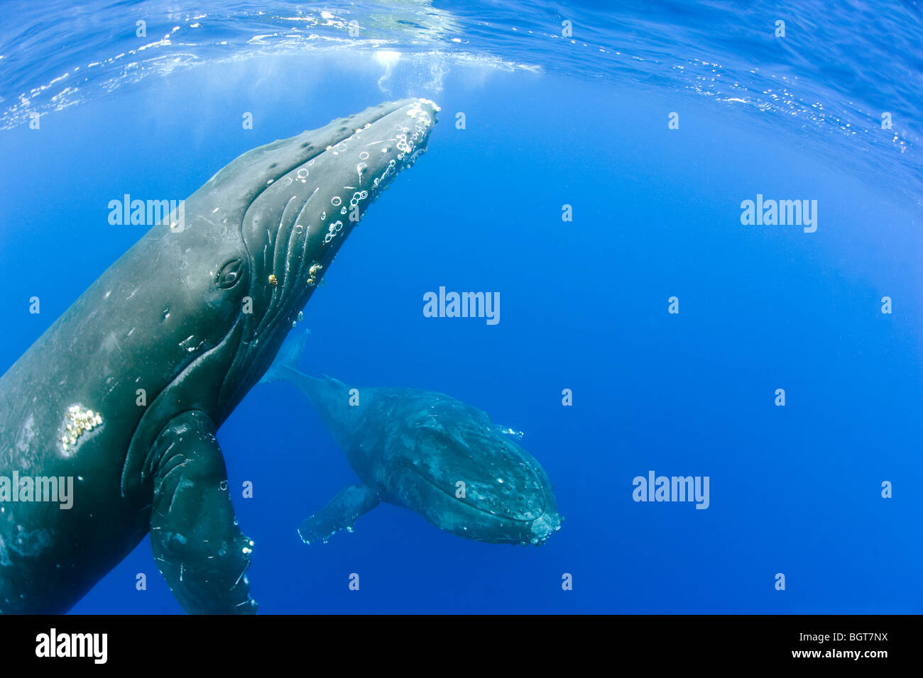 humpback whales underwater in maui hawaii swimming up to whale watching boat - Stock Image