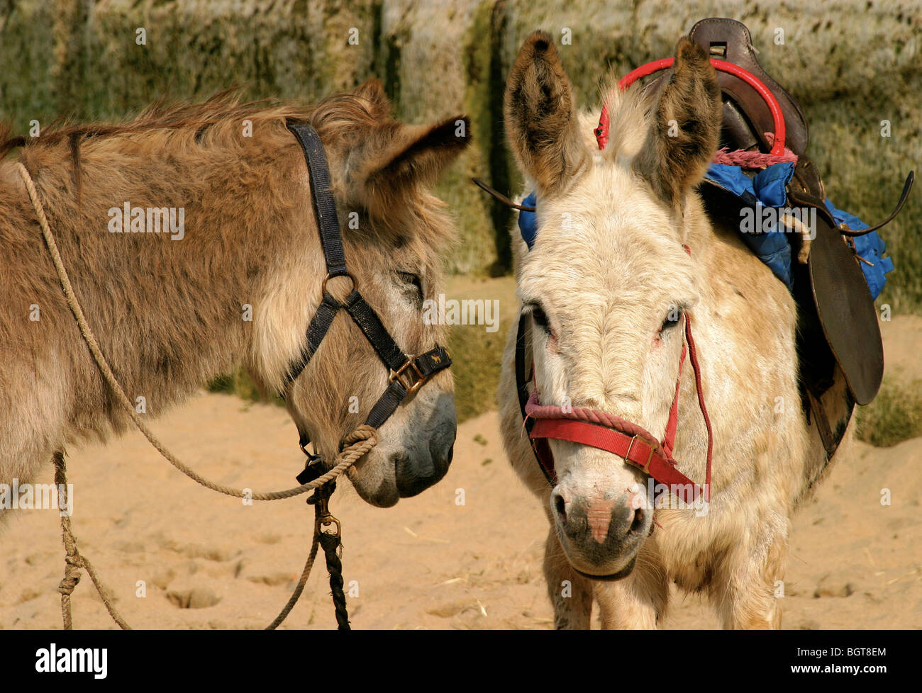 Donkeys on a beach for donkey rides - Stock Image