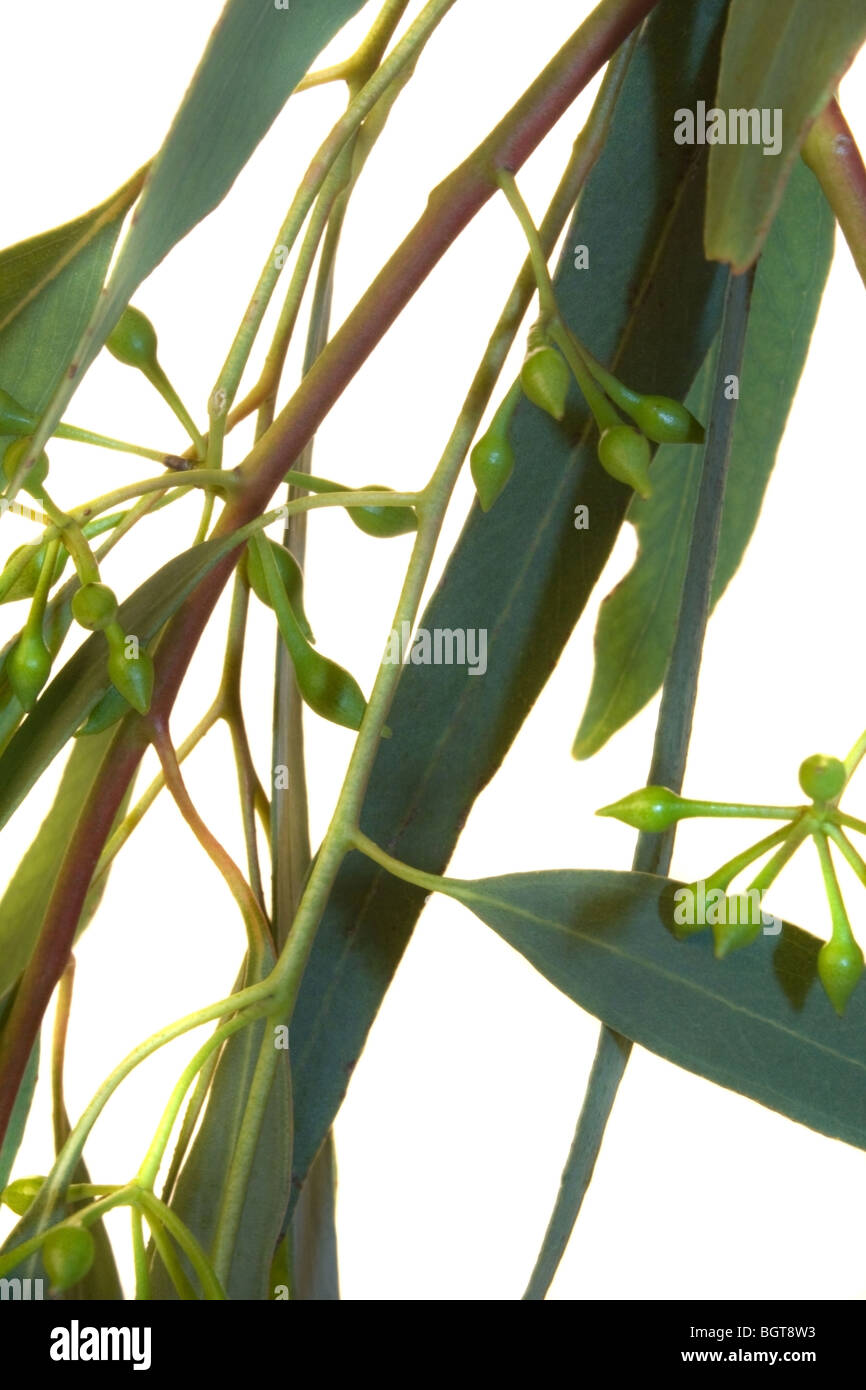 Green eucalyptus leaves on branches with seeds Stock Photo