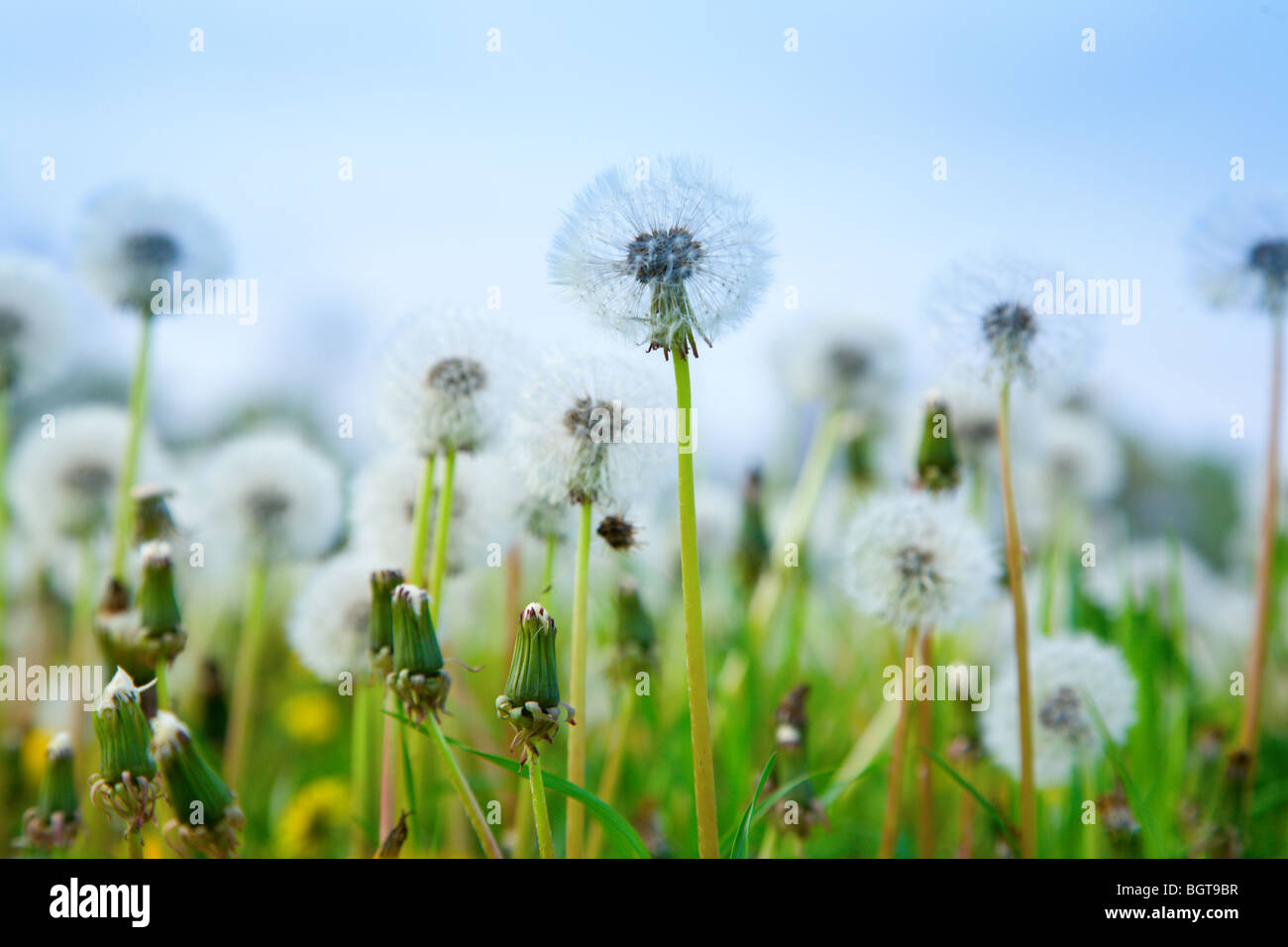 Dandelions - Stock Image