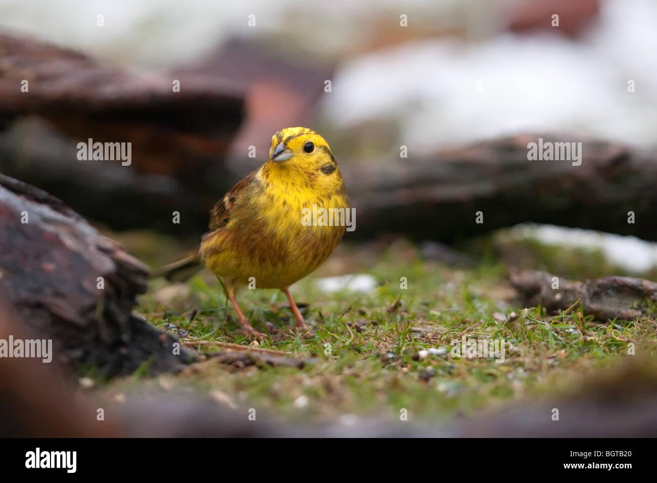 Male Yellowhammer - Stock Image