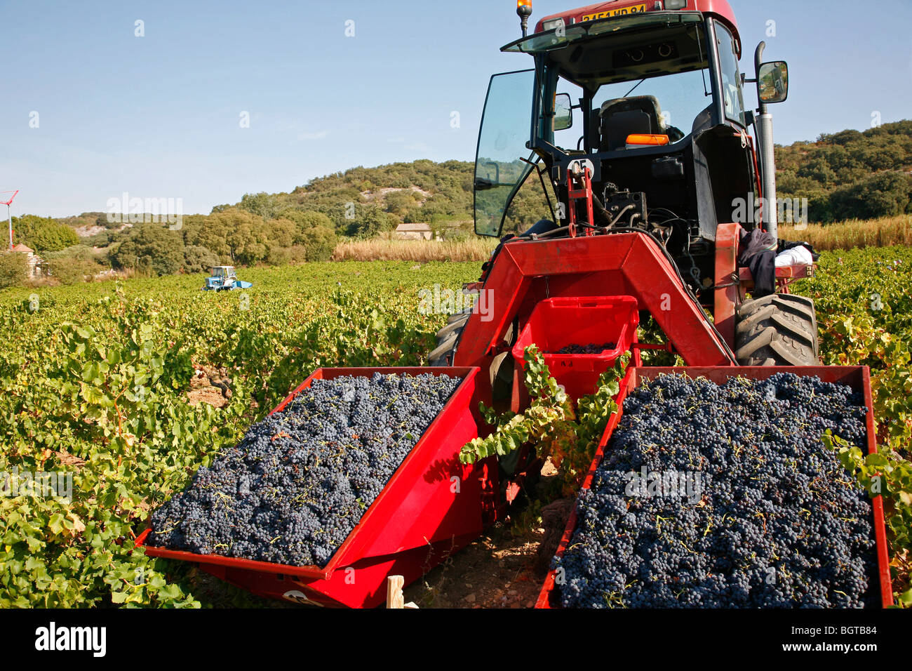 Grape harvest in vineyards around Chateauneuf du Pape, Vaucluse, Provence, France. - Stock Image