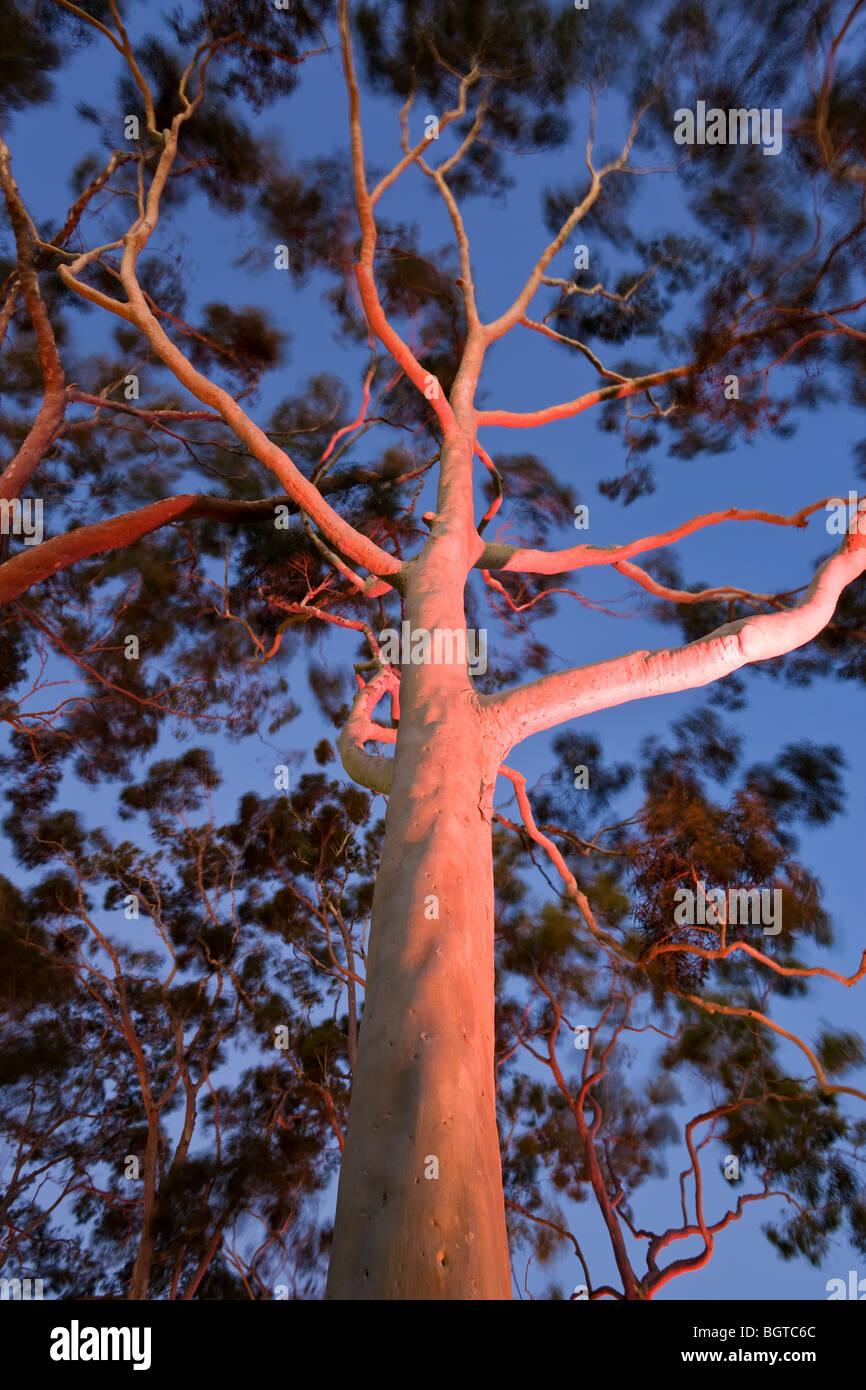 Mature lemon scented gum trees Eucalyptus citriodora in Kings Park Perth Western Australia, Australia Stock Photo