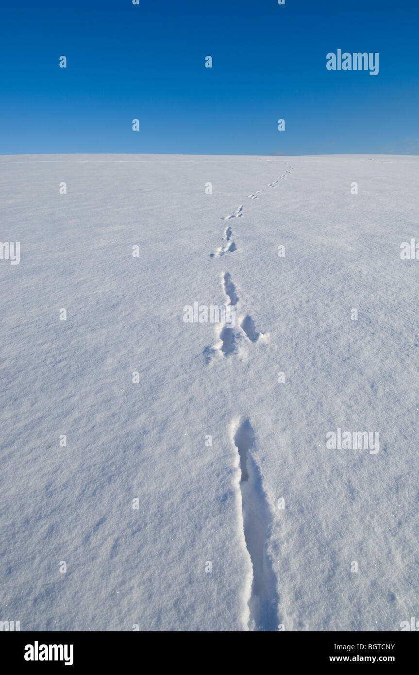 Fresh foot prints or tracks in the snow going off the the horizon. - Stock Image