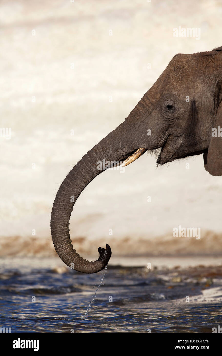 Elephant drinking water from Chobe River, Botswana - Stock Image