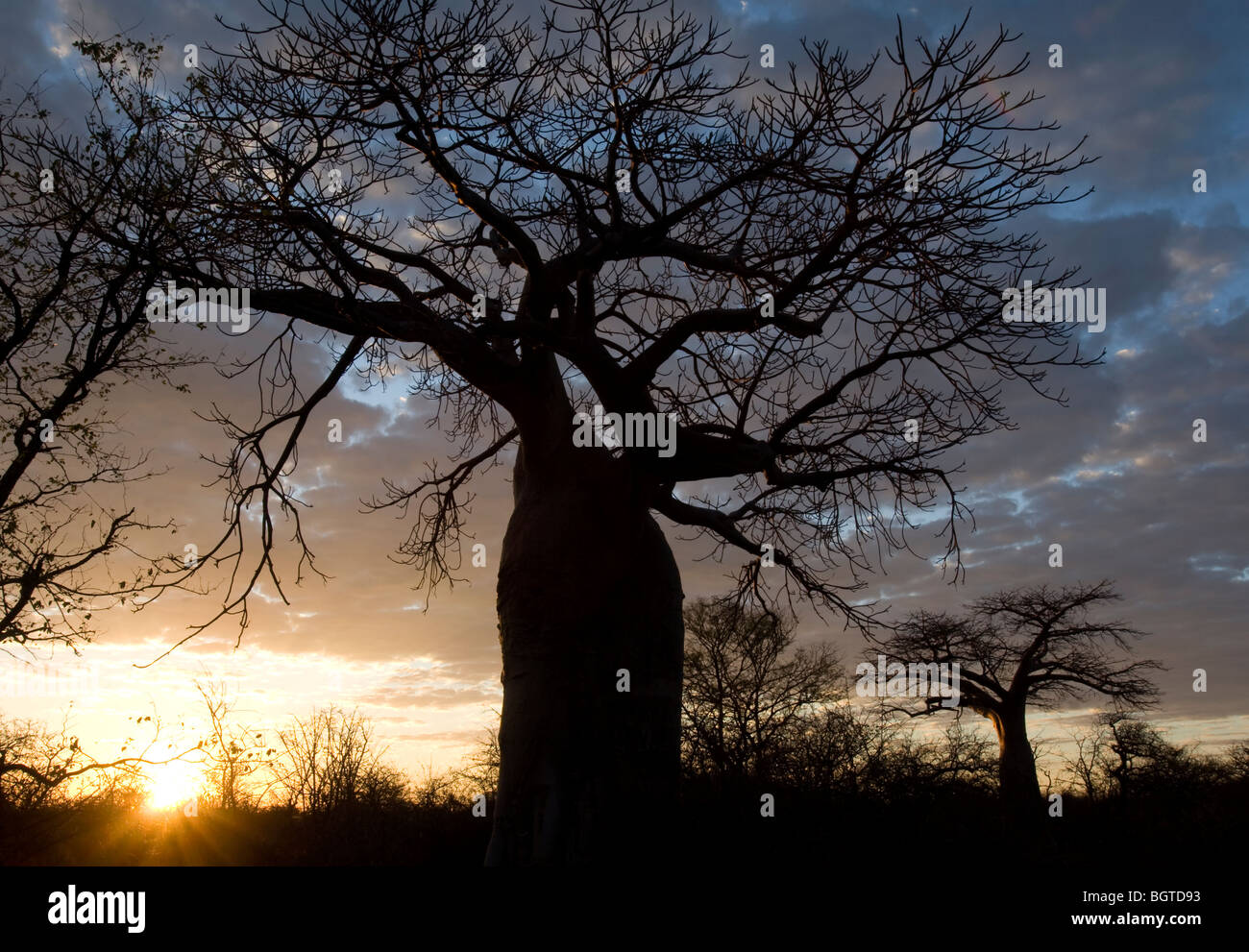 Sunrising behind ancient Boabab tree, Messina Limpopo - Stock Image