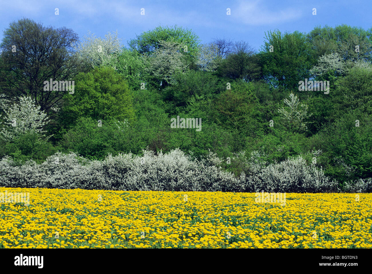 Flowering Hedge and Dandelion filled meadow in May (Taraxacum officinale) Stock Photo