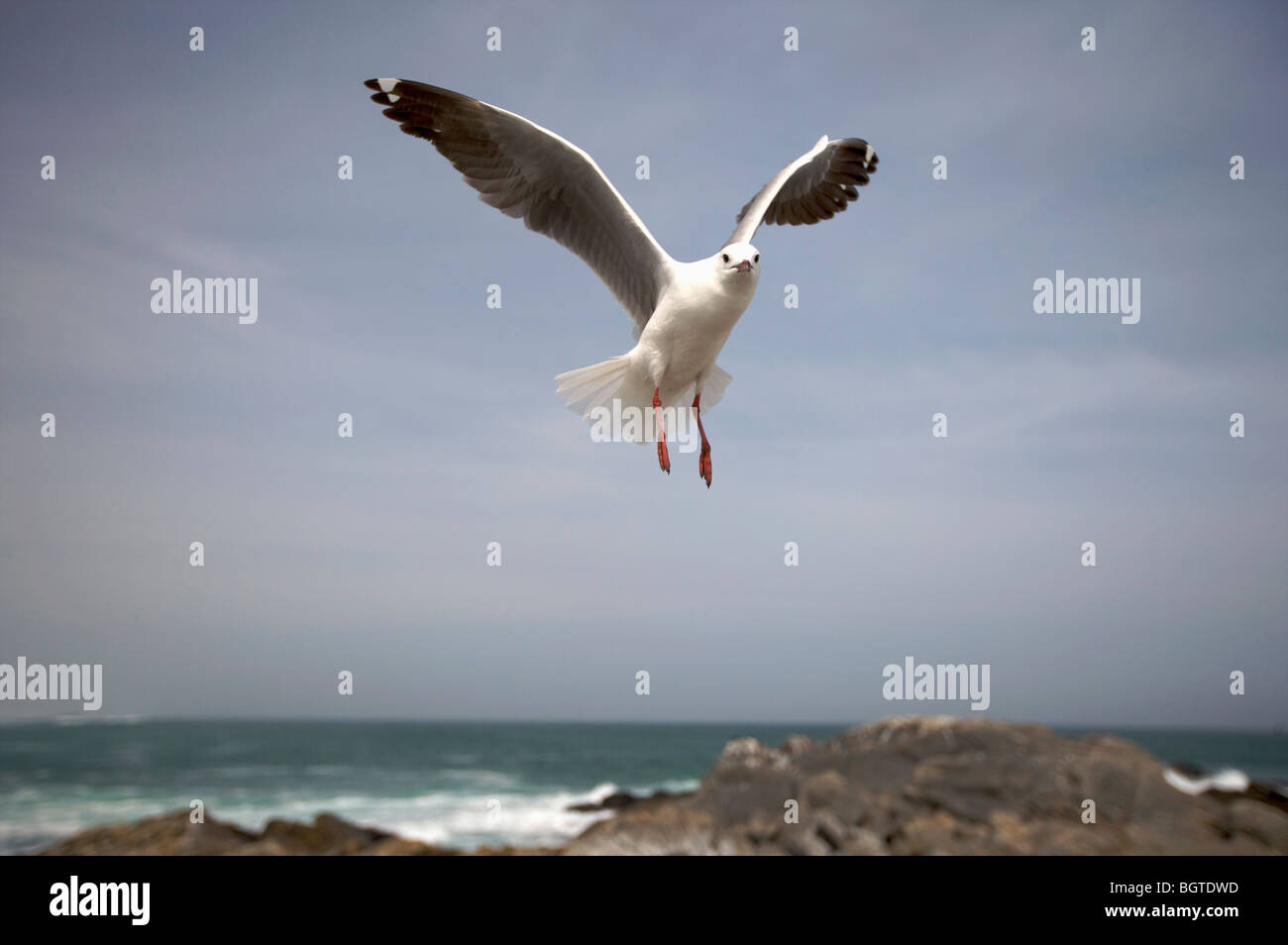 Hartlaub's Gull (Larus hartlaubii) in flight, West Coast, Western Cape , South Africa - Stock Image