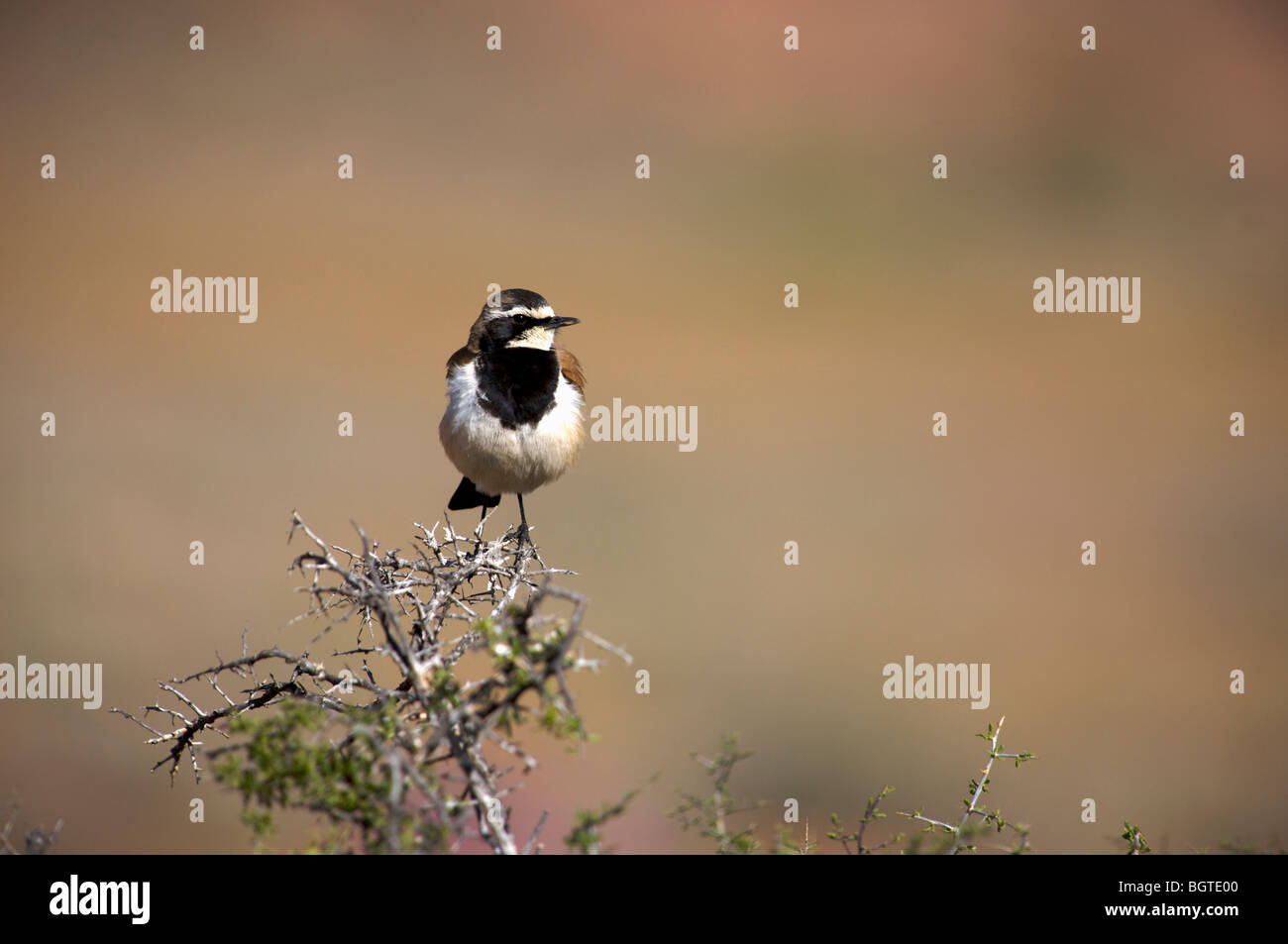 Capped Wheatear (Oenanthe pileata) sitting on a branch, Namaqualand, Northern Cape , South Africa - Stock Image