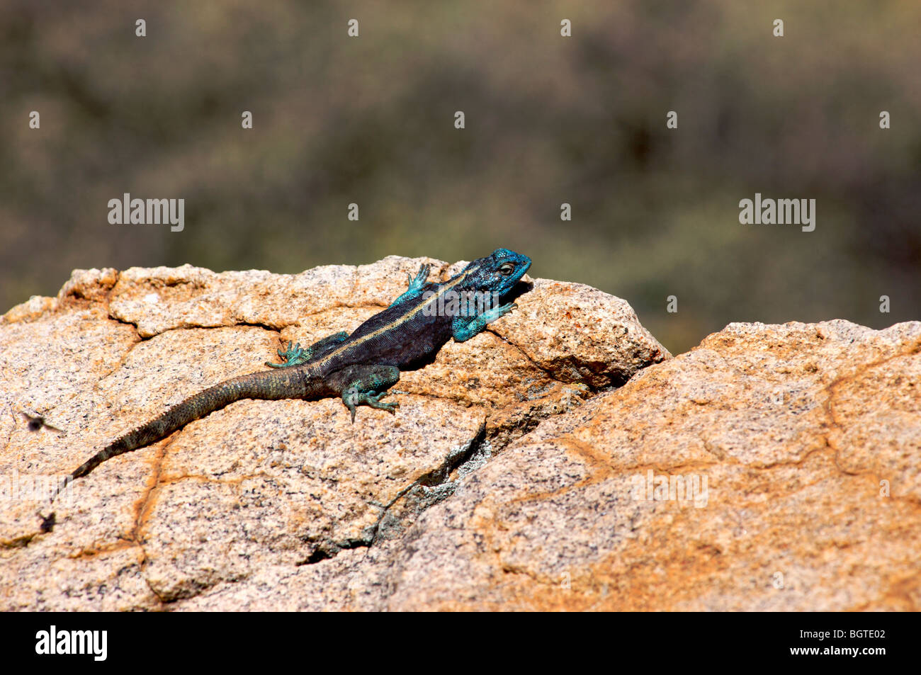 Male Southern Rock Agama (Agama atra) sunning itself on a rock, Namaqualand, Northern Cape , South Africa - Stock Image