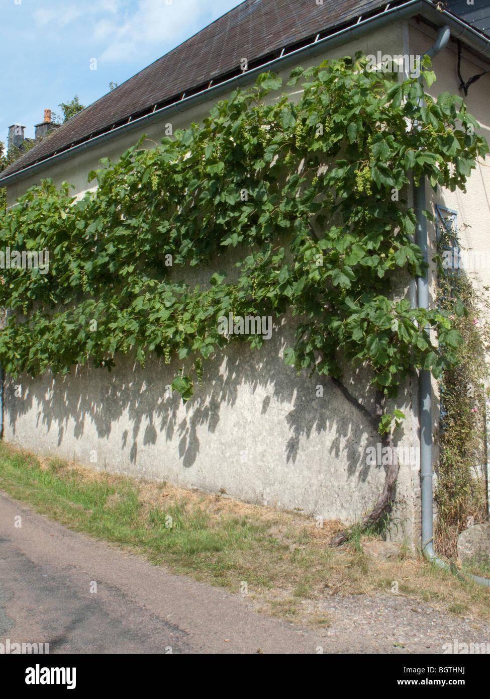 grape vine wall road France house Stock Photo