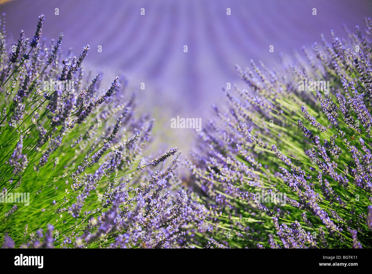 LAVENDER FIELD TO VALENSOLE, PROVENCE, FRANCE - Stock Image