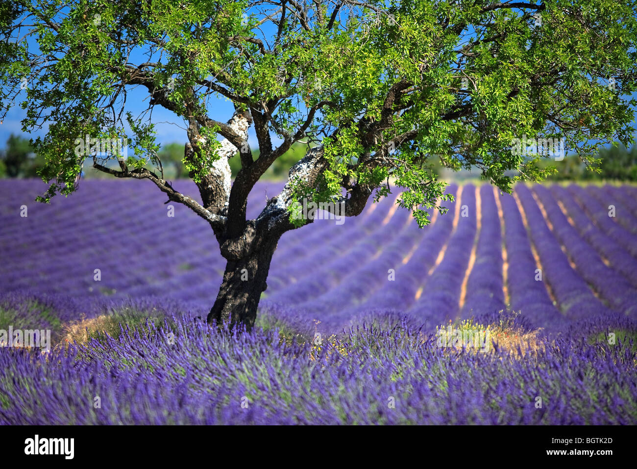 LAVENDER FIELD TO VALENSOLE, PROVENCE, FRANCE Stock Photo
