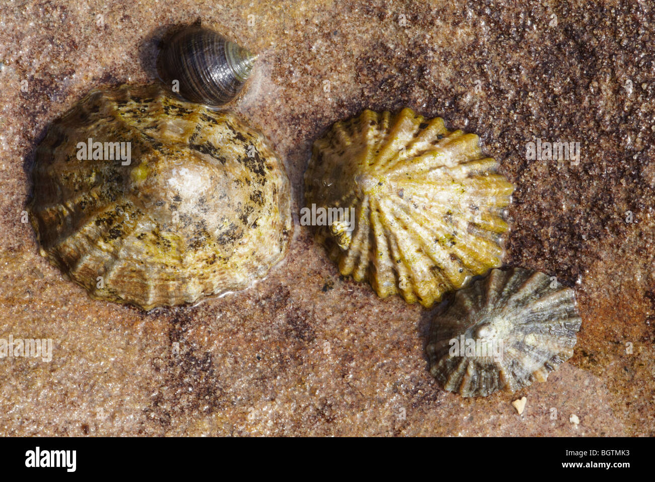 Common limpets (Patella vulgata) and edible periwinkle (Littorina littorea), Northumberland, England, United Kingdom Stock Photo